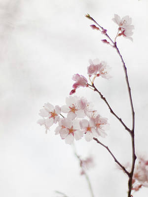 Fragility Photograph - Cherry Blossoms by Polotan
