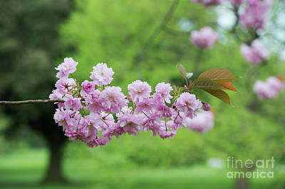 Cherry Kanzan Blossom Print by Tim Gainey