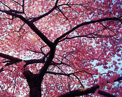 Cherry Tree Print by Mitch Cat
