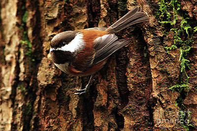 Chestnut-backed Chickadee On Tree Trunk Print by Sharon Talson