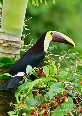 Toucan Photograph - Chestnut-mandibled Toucan, Costa Rica by Blair Seitz