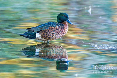 Jervis Photograph - Chestnut Teal Drake by B.G. Thomson
