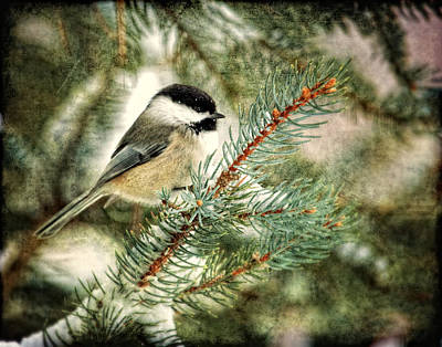 Chickadee On A Snowy Tree Print by Al  Mueller
