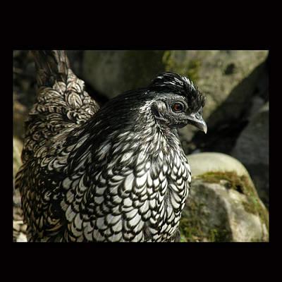 Bird Photograph - Chicken by John Shook