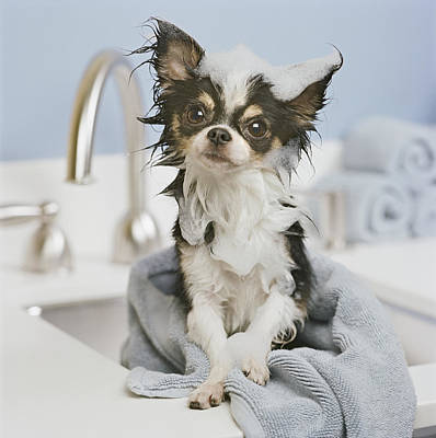 Domestic Bathroom Photograph - Chihuahua Puppy Wrapped In Towel On Sink, Close-up by GK Hart/Vikki Hart
