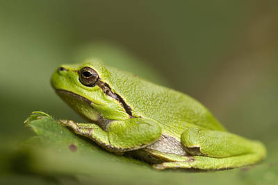 Chilling Tree Frog Print by Roeselien Raimond