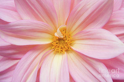 Chinese Chrysanthemum Flower Print by Julia Hiebaum
