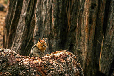 Chipmunk Photograph - Chipper by Bill Gallagher