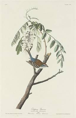 Sparrow Drawing - Chipping Sparrow by John James Audubon
