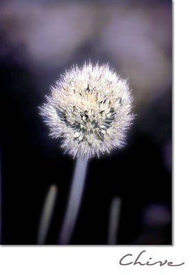 Chives Photograph - Chive by Holly Kempe