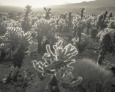 Sonoran Desert Photograph - Cholla Morning by Joseph Smith