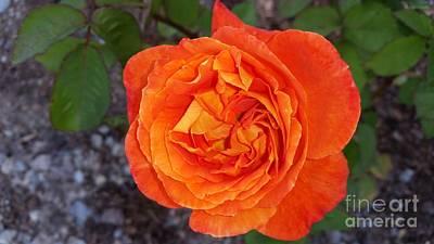 Christchurch  Rose Print by Joyce Woodhouse