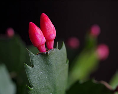 Christmas Cactus Photograph - Christmas Cactus Double Joy by Rona Black