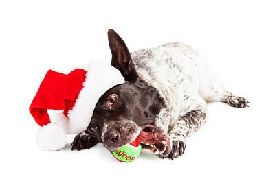 Christmas Dog Chewing On Tennis Ball Print by Susan Schmitz