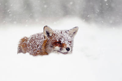 Christmas Fox Print by Roeselien Raimond