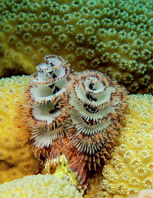 Christmas Tree Worms Print by Jean Noren