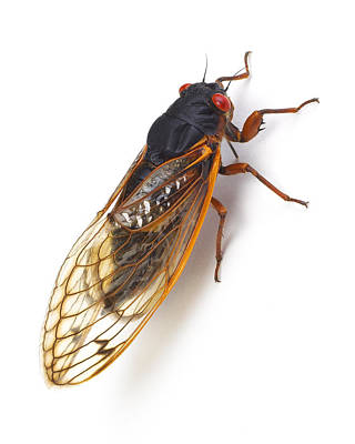 Cicada Photograph - Cicada by Donald Schwartz