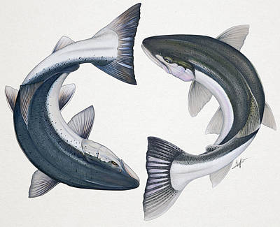 Trout Drawing - Circling Atlantic Salmon And Steelhead by Nick Laferriere