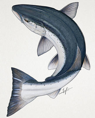 Salmon Drawing - Circling Atlantic Salmon by Nick Laferriere