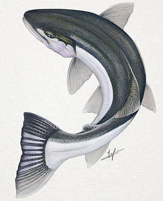 Trout Drawing - Circling Steelhead by Nick Laferriere