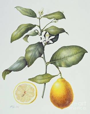 Fruits Drawing - Citrus Lemon by Margaret Ann Eden