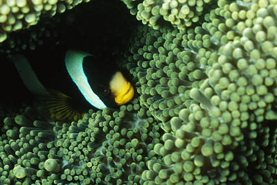 Clown Fish Photograph - Clarks Anemonefish, Amphiprion Clarkii by James Forte