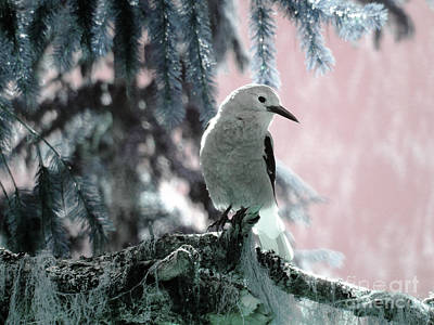 Clark's Nutcracker Print by Ann Johndro-Collins