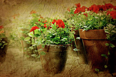 Clay Pots Of Geraniums Print by Diana Angstadt