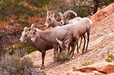 Big Horn Sheep Photograph - Cliffside Gathering  by James Marvin Phelps