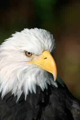 Close Portrait Of A Bald Eagle Print by Ralph Lee Hopkins