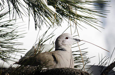 Turtle Photograph - Close Up African Collared Dove by Marilyn Hunt