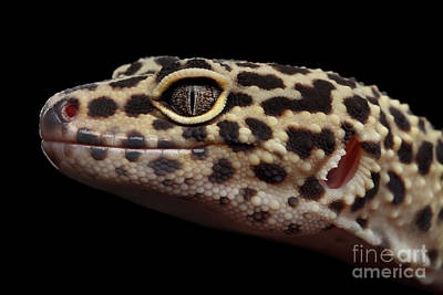 Close-up Leopard Gecko Eublepharis Macularius Isolated On Black Background Print by Sergey Taran