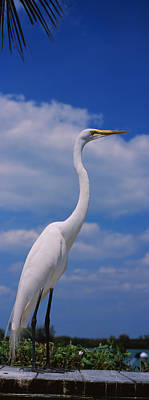 Close-up Of A Great Egret Ardea Alba Print by Panoramic Images