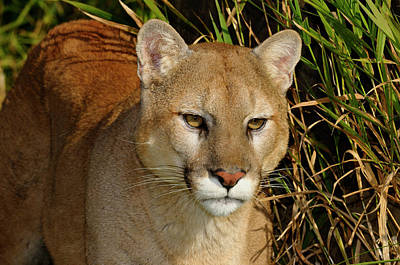 Cougar Photograph - Close Up Of A Mountain Lion Stalking Prey In Tall Grass by Reimar Gaertner