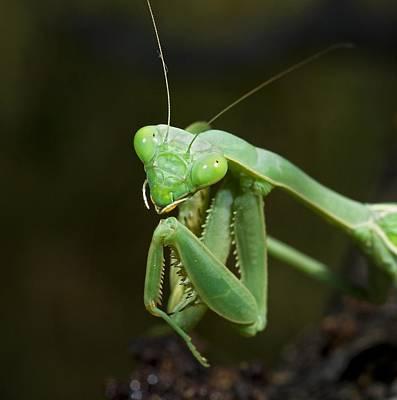 Photograph - Close Up Of A Praying Mantis by Jack Goldfarb