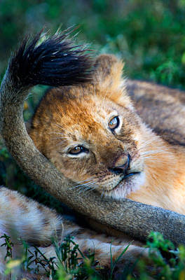 Close-up Of African Lion Panthera Leo Print by Panoramic Images