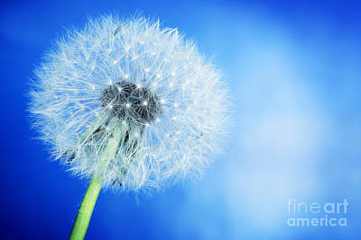 Fragility Photograph - Close-up Of Dandelion On Blue Sky Background by Michal Bednarek