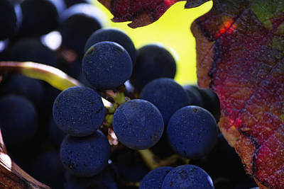 Grapevine Photograph - Close Up Of Grapes On A Vine by Georgia Fowler