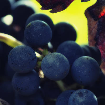 Grapevine Photograph - Close Up Of Grapes On A Vine - Square by Georgia Fowler
