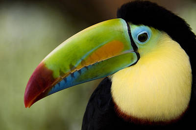 Toucan Photograph - Close-up Of Keel-billed Toucan by Panoramic Images