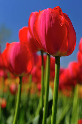 Tulip Photograph - Close Up Of Red Gordon Cooper Dutch Tulips With Blue Sky At Otta by Reimar Gaertner