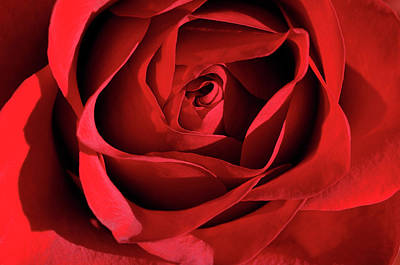 Roses Photograph - Close Up Of The Top Of A Red Rose With Unfurling Petals In Sunsh by Reimar Gaertner