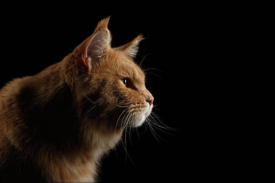 Close-up Portrait Ginger Maine Coon Cat Isolated On Black Background Print by Sergey Taran