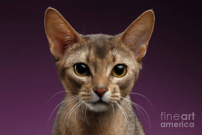 Close Up Portrait Of Beautiful Abyssinian Cat On Purple Background Print by Sergey Taran