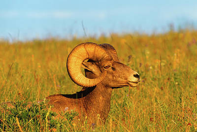 Ram Horn Photograph - Close Up Profile Portrait Big Bighorn Sheep Ram by Jerry Voss