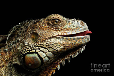 Reptiles Photograph - Close-upgreen Iguana Isolated On Black Background by Sergey Taran