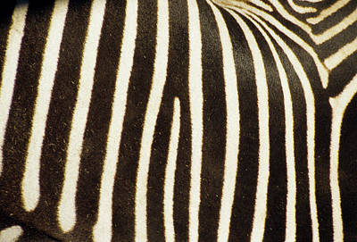 Close View Of A Zebras Stripes Print by Stacy Gold