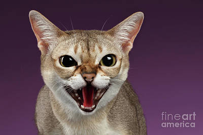 Closeup Aggressive Singapura Cat Hisses On Purple Print by Sergey Taran