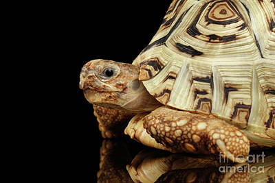 Reptiles Photograph - Closeup Leopard Tortoise Albino,stigmochelys Pardalis Turtle With White Shell On Isolated Black Back by Sergey Taran