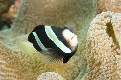 Clarks Anemonefish Photograph - Closeup Of A Clarks Anemonefish by Tim Laman